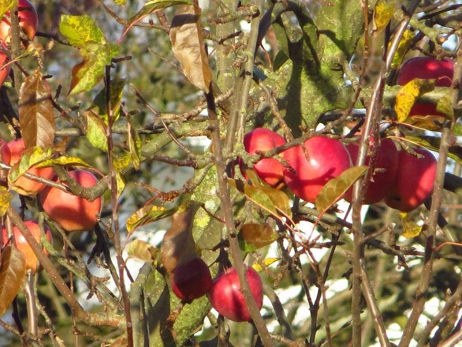 Rote Äpfel hängen im Baum