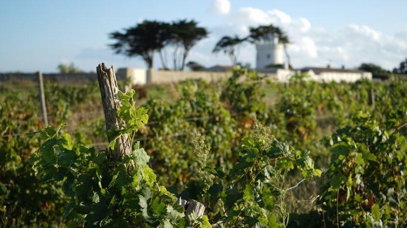 Île de Ré, September 2020, Vineyards, Ars-en-Ré, France