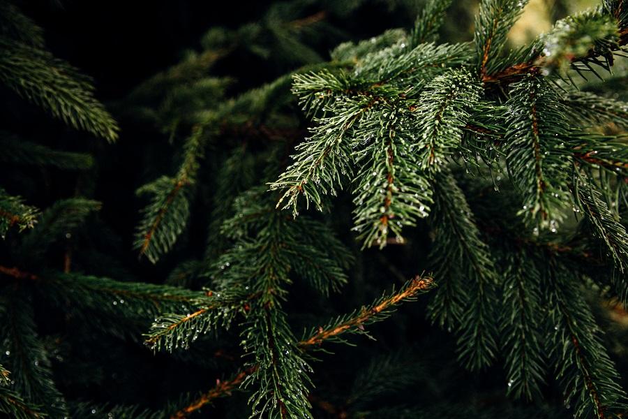 Nachhaltige Weihnachtsgeschenke finden - Tannenzweige